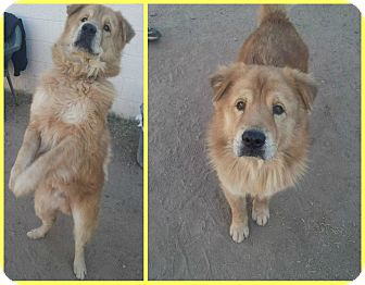 Chow Chow Mix Dog for adoption in Scottsdale, Arizona - Chance
