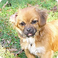 Adopt A Pet :: Carli - Mocksville, NC
