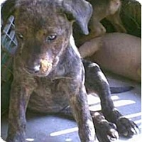 Adopt A Pet :: Terrie Lee - dewey, AZ