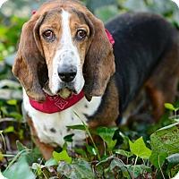 Adopt A Pet :: Elvis - Acton, CA