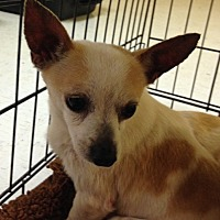 Chihuahua Dog for adoption in Ardmore, Oklahoma - Jaden