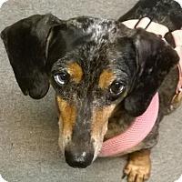 Adopt A Pet :: Hawkeye - Decatur, GA