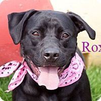 Adopt A Pet :: Roxie - Hamilton, MT