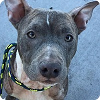 American Pit Bull Terrier Mix Dog for adoption in Las Vegas, Nevada - RINGO