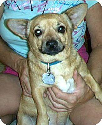 Chihuahua Mix Dog for adoption in Phoenix, Arizona - Pancho