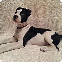 Adopt A Pet :: Moo - Cordes Lakes, AZ