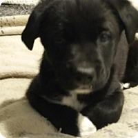 Adopt A Pet :: Puppy 2 - Northumberland, ON
