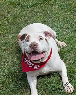 American Bulldog Mix Dog for adoption in Salisbury, North Carolina - Rascal