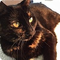 Adopt A Pet :: KATIE-BOMBAY-TORTIE CAT - Philadelphia, PA