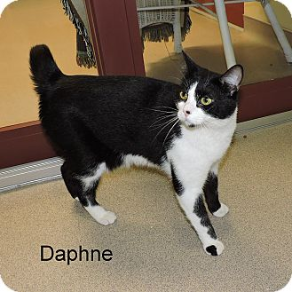 Domestic Shorthair Cat for adoption in Slidell, Louisiana - Daphne