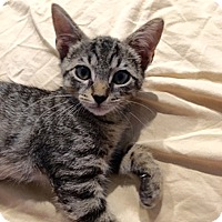 Domestic Shorthair Kitten for adoption in Tampa, Florida - Angel