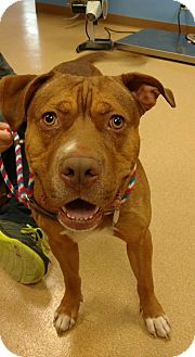 American Pit Bull Terrier Mix Dog for adoption in Brookings, South Dakota - Happy