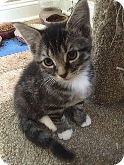 Domestic Shorthair Kitten for adoption in Herndon, Virginia - Billy