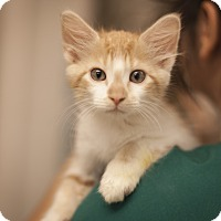 Adopt A Pet :: Pumpkin - Dallas, TX