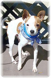 Chihuahua Mix Dog for adoption in Las Vegas, Nevada - Huero