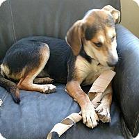 Adopt A Pet :: Jenny - Lexington, MA