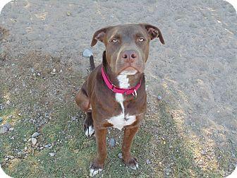 Labrador Retriever/Beagle Mix Dog for adoption in Las Cruces, New Mexico - Buford