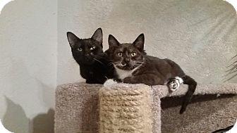 Domestic Shorthair Cat for adoption in Ocala, Florida - Juno & Presto