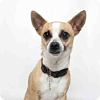 Chihuahua Mix Dog for adoption in Murray, Utah - ROKI