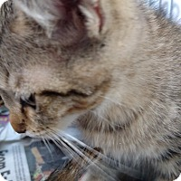 Domestic Shorthair Kitten for adoption in Yuba City, California - Happy