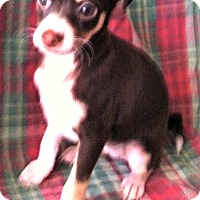 Fox Terrier (Smooth) Mix Puppy for adoption in La Verne, California - Brown Dog