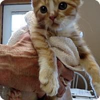 Adopt A Pet :: Shiloh - Divide, CO