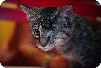 Domestic Shorthair Cat for adoption in Denver, Colorado - Precious