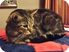 Domestic Shorthair Cat for adoption in Medford, Massachusetts - Snuggles