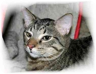 Domestic Shorthair Cat for adoption in Montgomery, Illinois - Tyler