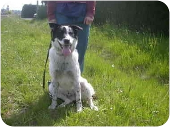Blue Heeler/Border Collie Mix Dog for adoption in Saanichton, British ...