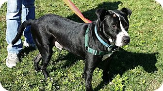 Boxer/American Staffordshire Terrier Mix Dog for adoption in Westbury, New York - Rucker
