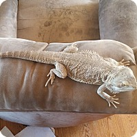 Adopt A Pet :: Kahlo, a bearded dragon - Bristow, VA