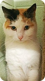 Calico Cat for adoption in Crossville, Tennessee - Snow White