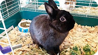 Netherland Dwarf for adoption in Greenfield, Indiana - Midnight