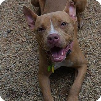 American Pit Bull Terrier Mix Dog for adoption in Decatur, Georgia - LOTTO