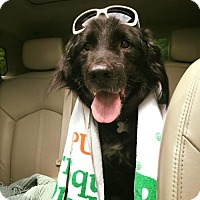 Flat-Coated Retriever Dog for adoption in Alpharetta, Georgia - Chaim