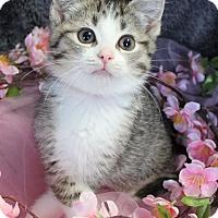 Adopt A Pet :: Blonde - Muskegon, MI