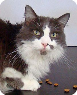Domestic Longhair Cat for adoption in Greenfield, Indiana - Bishop