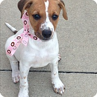 Jack Russell Terrier Mix Puppy for adoption in Trenton, New Jersey - Daisy (has been adopted)