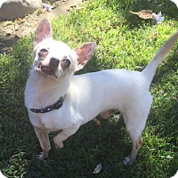 Chihuahua Dog for adoption in Vacaville, California - Oliver