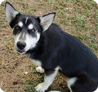 Husky Mix Dog for adoption in Brownsboro, Alabama - Sequoia