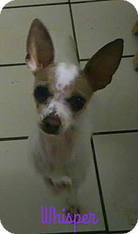 Chihuahua Dog for adoption in House Springs, Missouri - Whisper