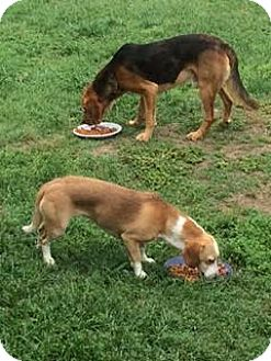Basset Hound/Hound (Unknown Type) Mix Dog for adoption in Mount Ida, Arkansas - Polly COURTESY POST
