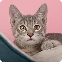 Domestic Shorthair Kitten for adoption in Wilmington, Delaware - Whopper