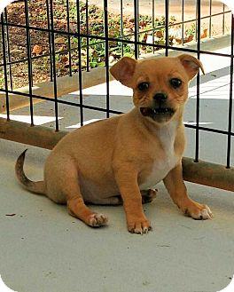 Chihuahua Mix Puppy for adoption in Barnesville, Georgia - Gummy Bear