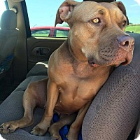 Staffordshire Bull Terrier Mix Dog for adoption in Kettering, Ohio - Simba