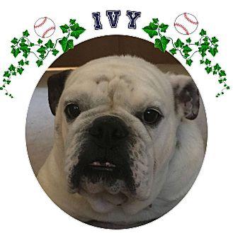 English Bulldog Dog for adoption in Park Ridge, Illinois - Ivy