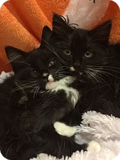 Maine Coon Kitten for adoption in Pasadena, Texas - Dottie