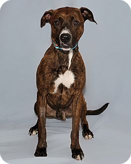 Staffordshire Bull Terrier Mix Dog for adoption in Gatineau, Quebec - Thor