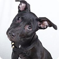 Adopt A Pet :: Danni - Sudbury, MA